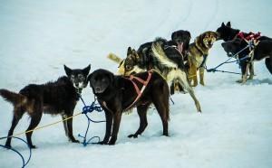 Schlittenhunde als Team